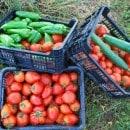 18-recolte-poivrons-tomates.jpg