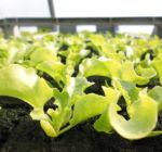 Semis de salade